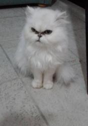 Tanais, chat Persan