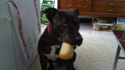 Enko, chien American Staffordshire Terrier