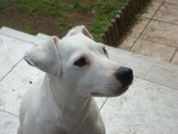 Calice De La Roche Turpin, chien Parson Russell Terrier