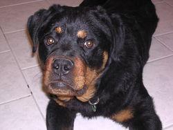 Alf, chien Rottweiler