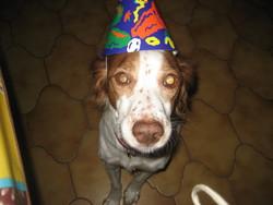 Ulka, chien Épagneul breton