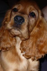 Ferguie, chien Cocker anglais