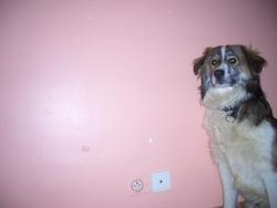 Myrtille, chien Border Collie
