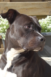 Theilo, chien American Staffordshire Terrier