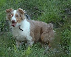 Pumpkin, chien Berger australien