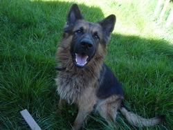 Cameron, chien Berger allemand