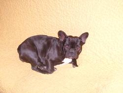 Belle, chien Bouledogue français