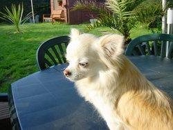 Épona, chien Chihuahua