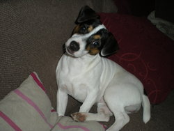 Emy, chien Jack Russell Terrier