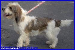 Domino Des Echos De Buzet, chien Petit Basset Griffon vendéen