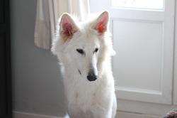 Ashitaka, chien Berger blanc suisse