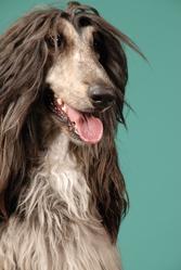 Djahl, chien Lévrier afghan