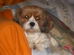 Bianca, chien Shih Tzu