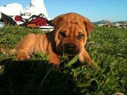 Jackson, chien Boxer