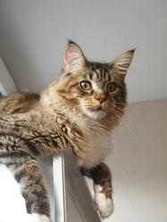 Domingo, chat Maine Coon