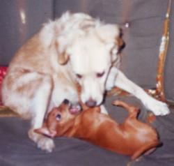 Candy, chien Teckel