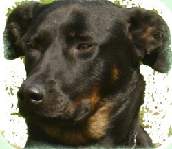 Baika, chien Beauceron