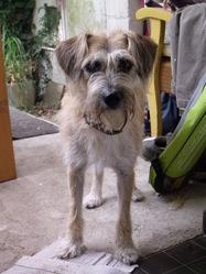 Cannelle, chien Griffon à poil dur Korthals