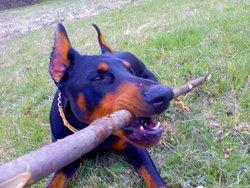 Chukels, chien Dobermann