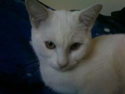 Pistache, chat Burmilla