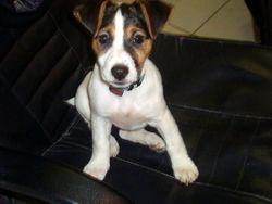 Leya, chien Jack Russell Terrier