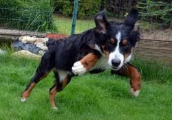 Karamelle, chien Bouvier bernois