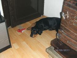 Tyron, chien Rottweiler
