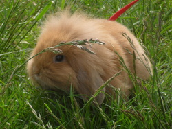 Bulle , rongeur Lapin