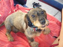 Sarah, chien Teckel