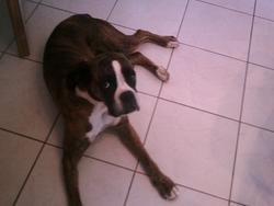 Violaine, chien Boxer