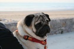 Bebel, chien Carlin