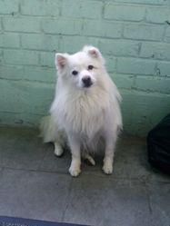 Fiocco, chien Spitz japonais