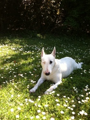 Rita, chien Bull Terrier
