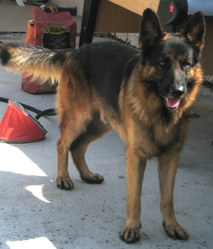 Cesar, chien Berger allemand