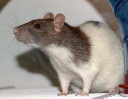 Rosebud, rongeur Rat
