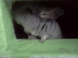 Zoky, rongeur Chinchilla