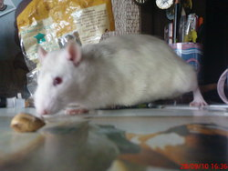 Spike, rongeur Rat