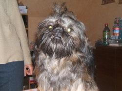 Willow, chien Shih Tzu