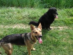 Cheyenne, chien Berger allemand