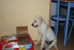 Elliot, chien Labrador Retriever