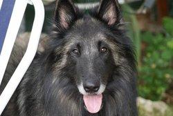 Baladin, chien Berger belge