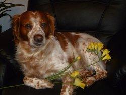 Jimmy, chien Épagneul breton