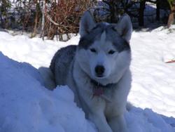 Storm, chien Husky sibérien