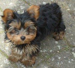 Cosette, chien Yorkshire Terrier