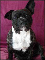 Carrie, chien Bouledogue français