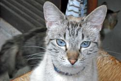 Jupiter, chat Européen