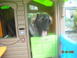 Dorca, chien Berger yougoslave