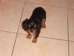 Éva, chien Cavalier King Charles Spaniel