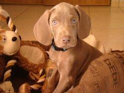 Ello, chien Braque de Weimar