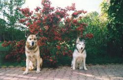 Gamin Iris, chien Berger allemand